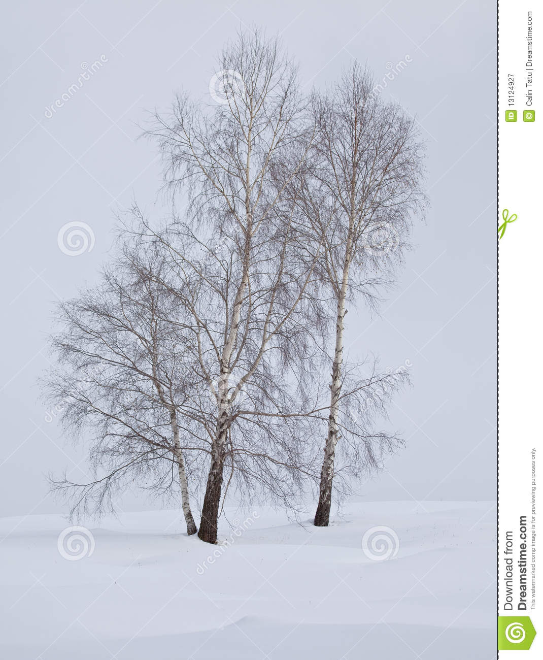 Birch trees in winter royalty free stock photography image 13124927