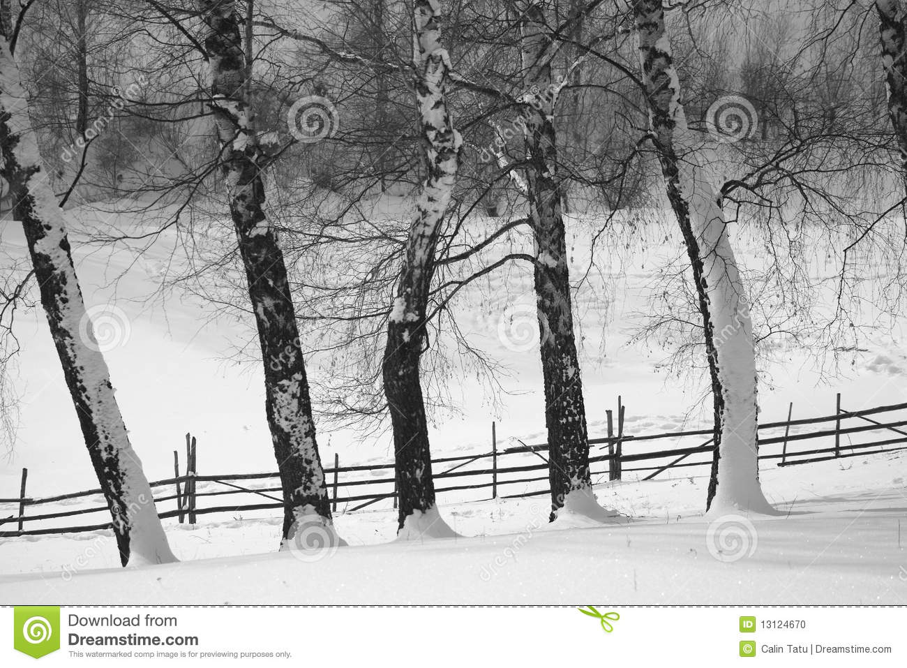 birch trees in winter covered by snow stock photo image