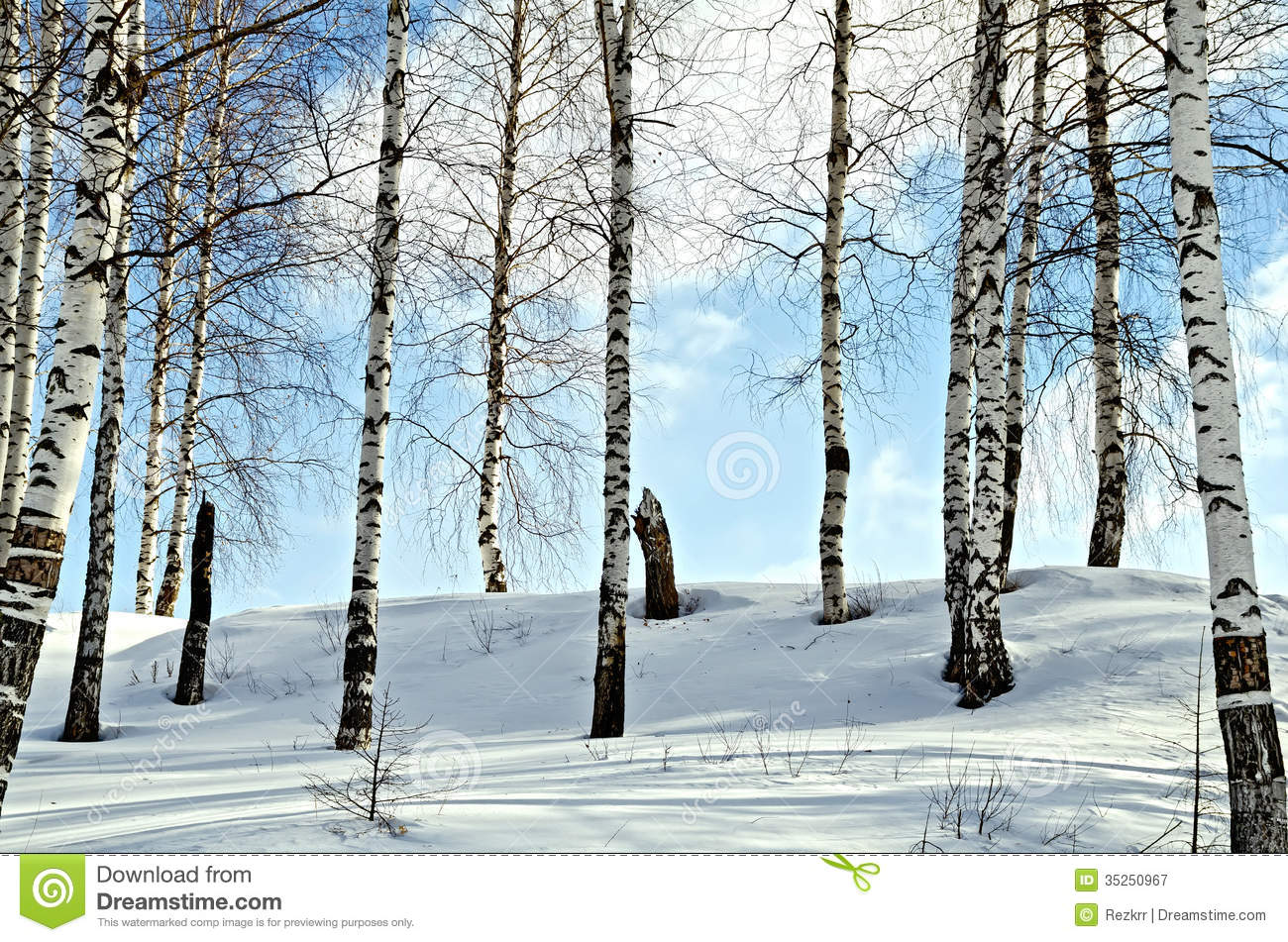 Birch trees in the winter stock photo image 2170700 - Birch Trees In A Winter Forest Royalty Free Stock Photography