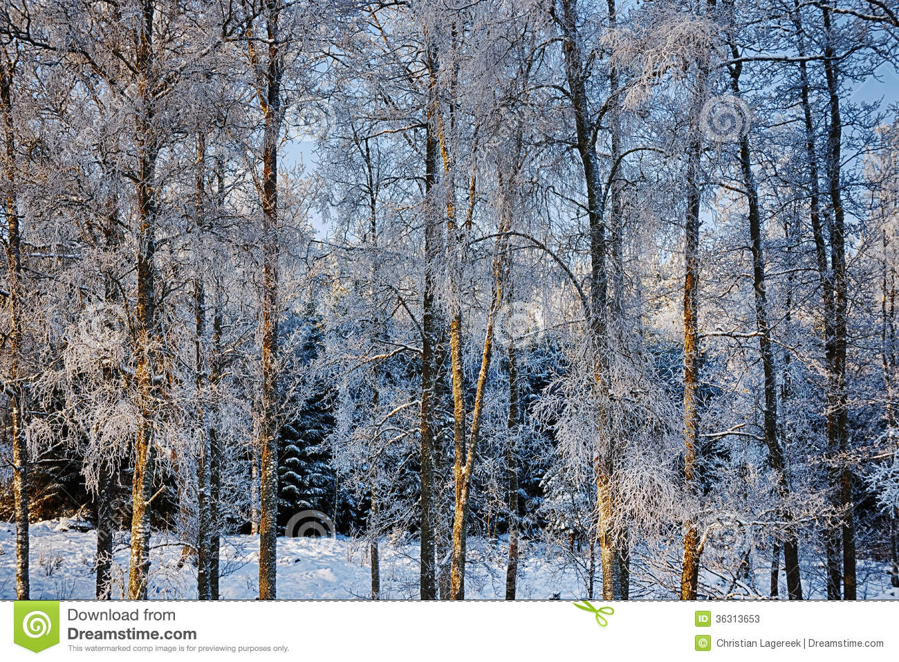 Birch trees in winter frosy and icy stock photos image 36313653