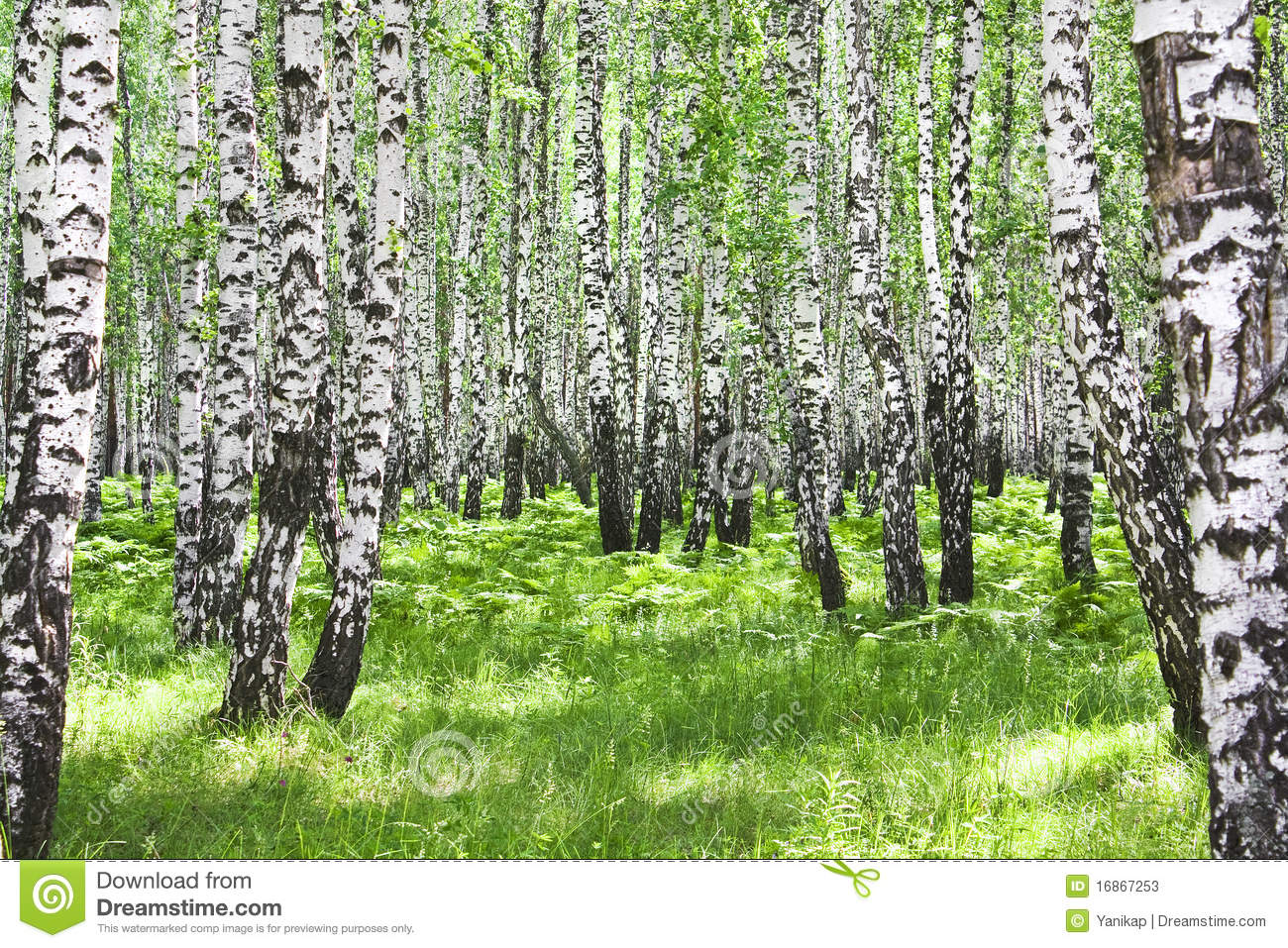 Birch wood stock photos image 16867253 for Birch wood cost