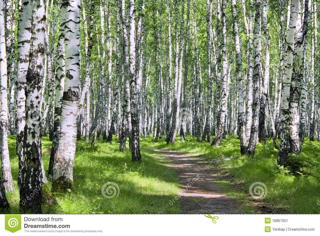 Birch wood stock image. Image of lush, rural, landscaped ...