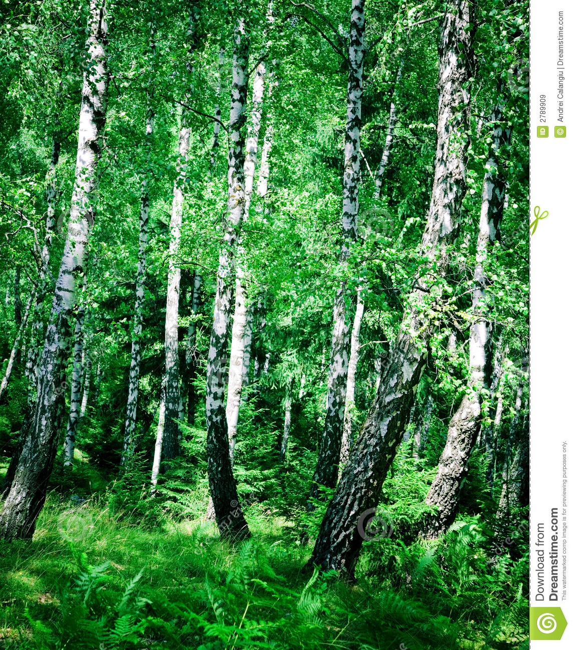 Birch wood royalty free stock images image 2789909 for Birch wood cost