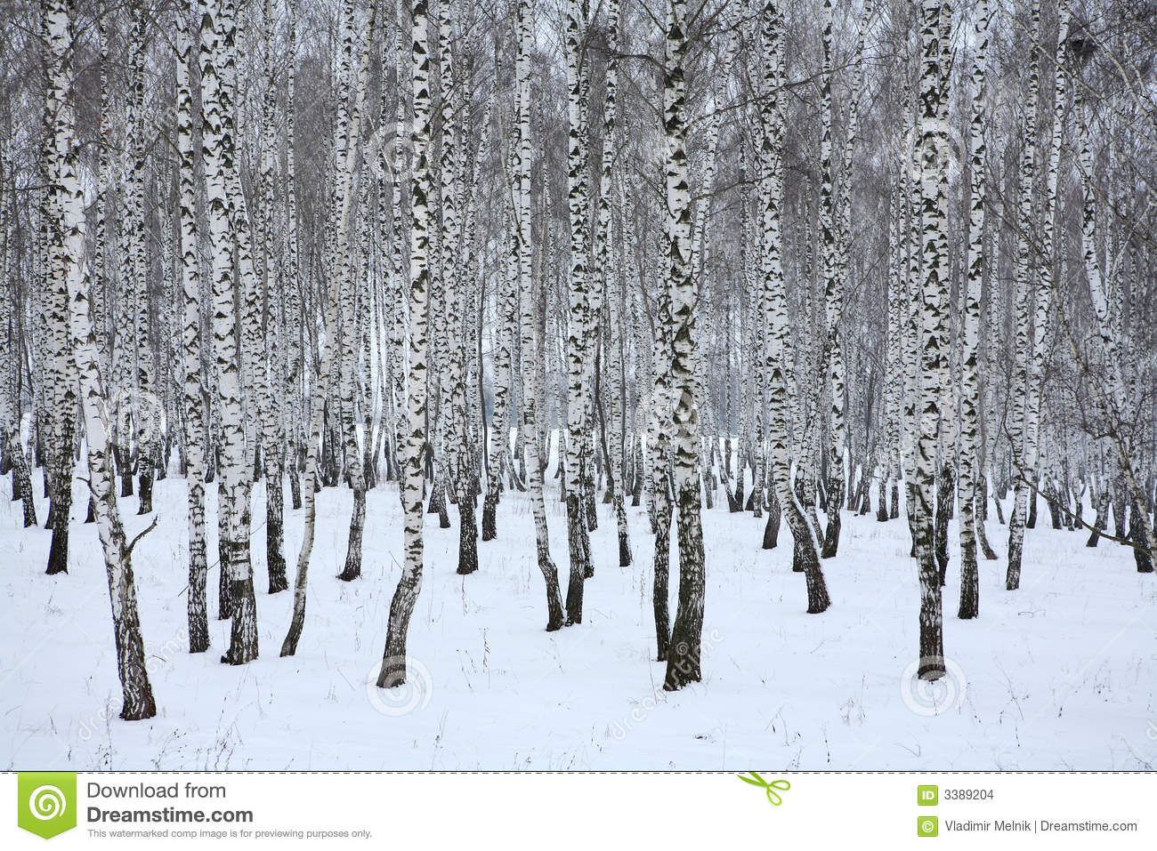 Birch wood in winter Russia