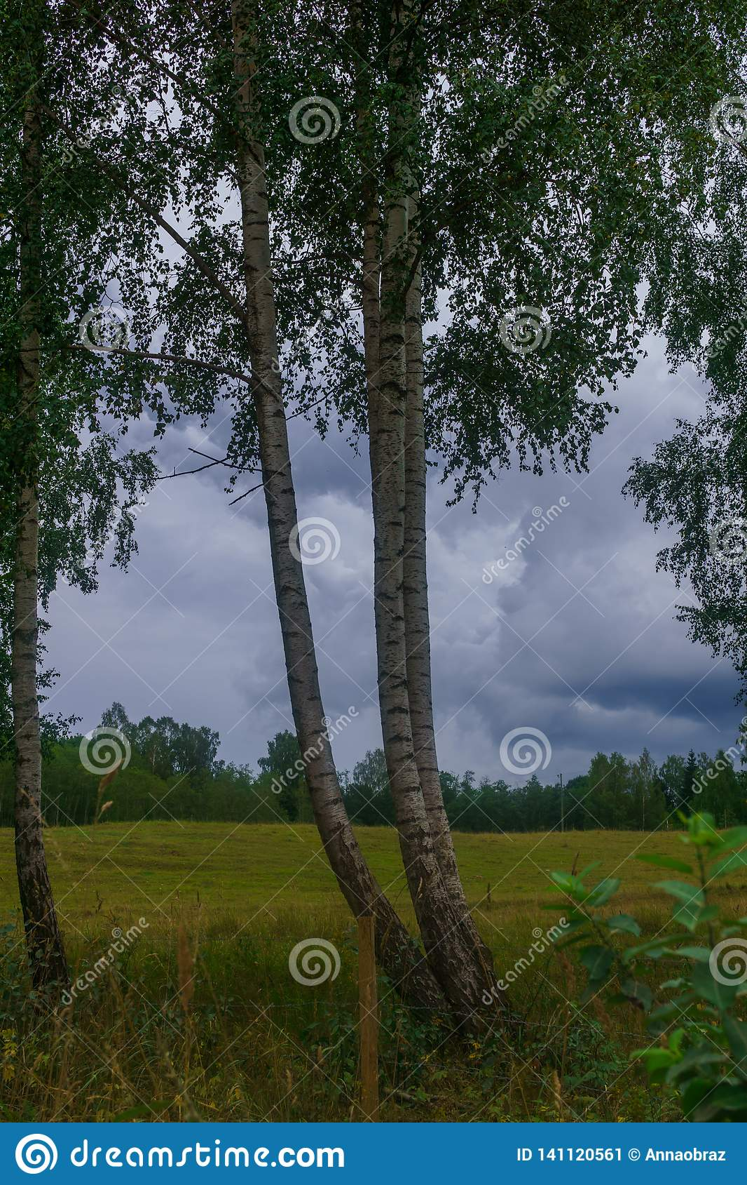 Birches on the edge of the field in the village. The photo was taken in Latvia