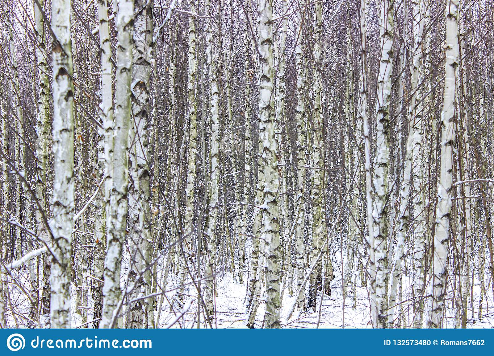 Birches on the forest edge