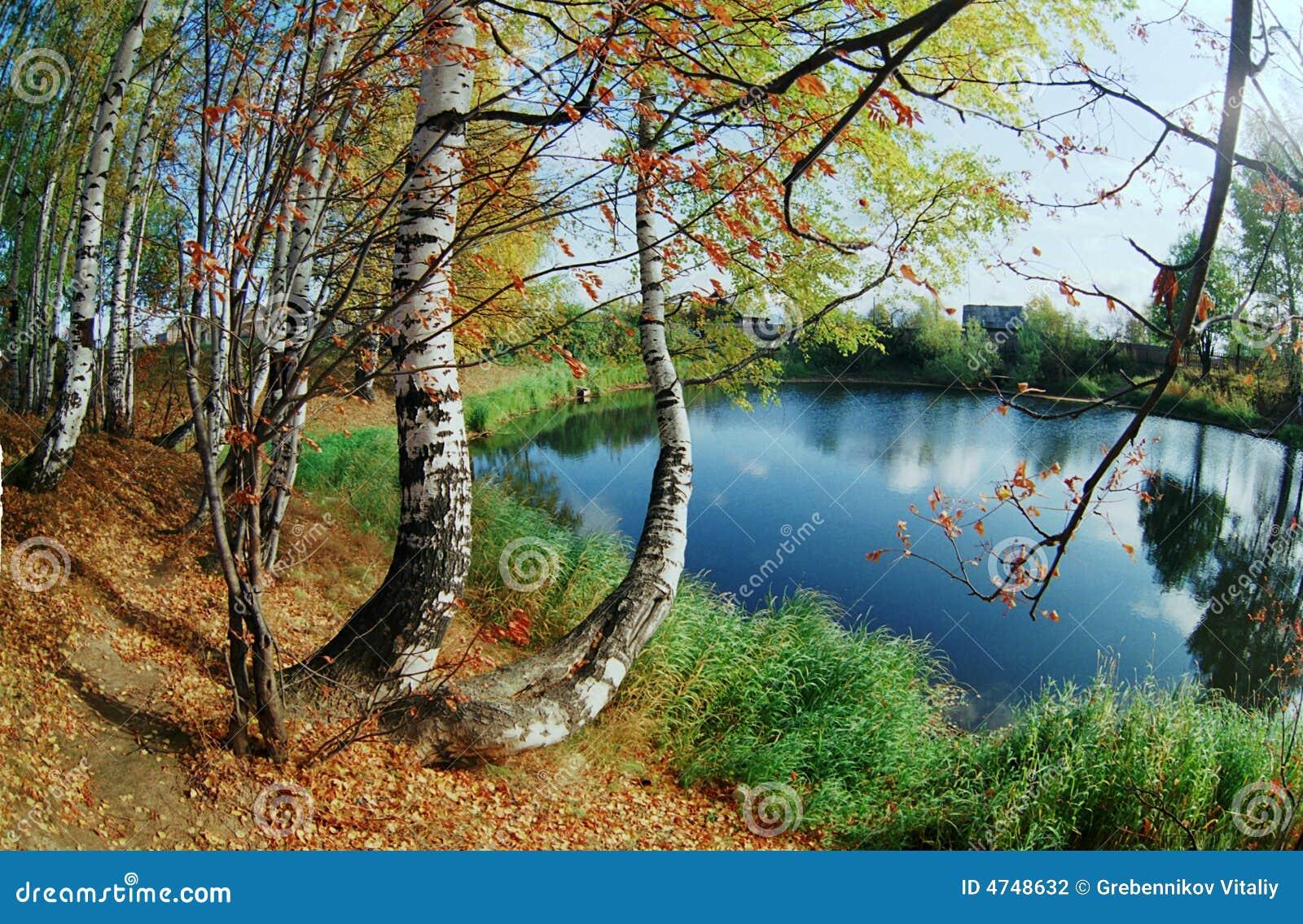 Birchwood on coast of lake.