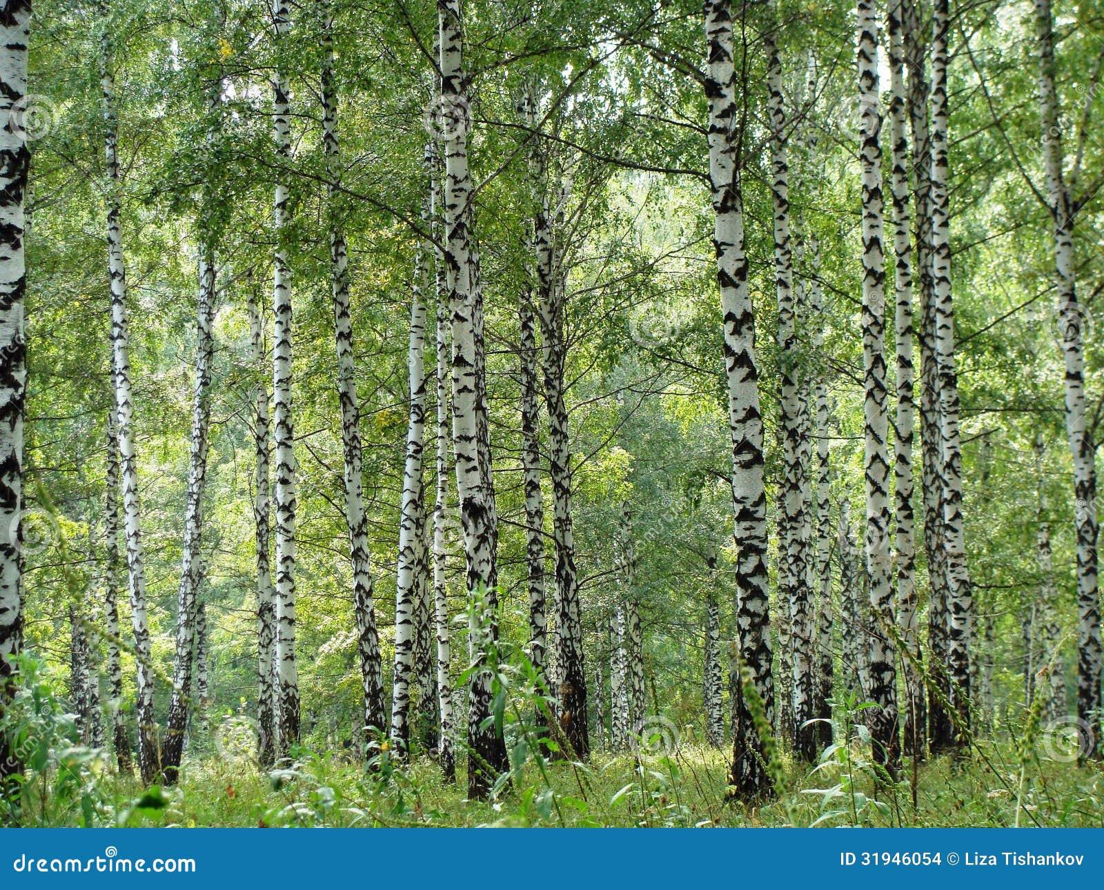 Birchwood Stock Photo Image Of Birch Great Landscape