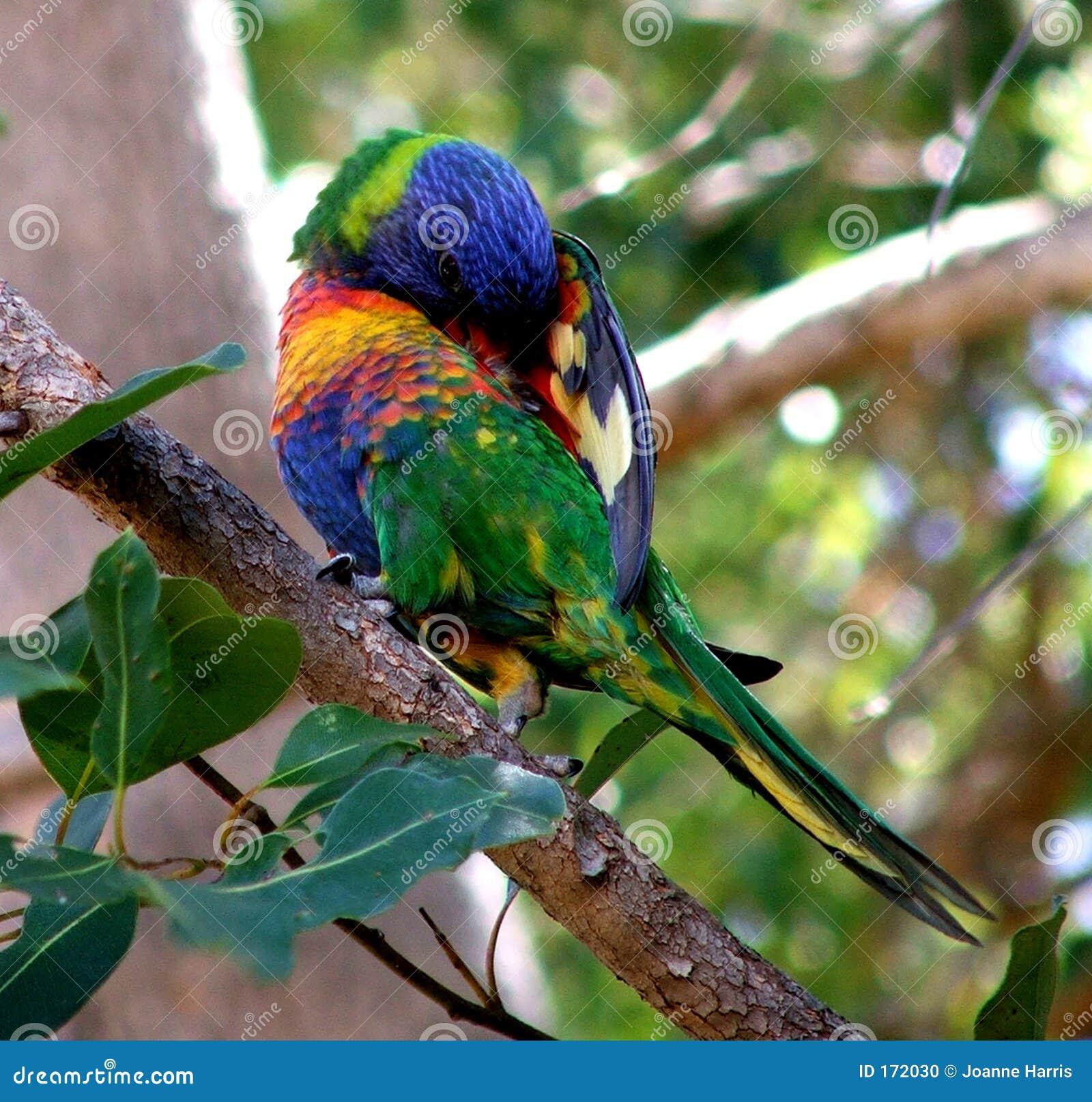 Bird - Australian Lorrikeet
