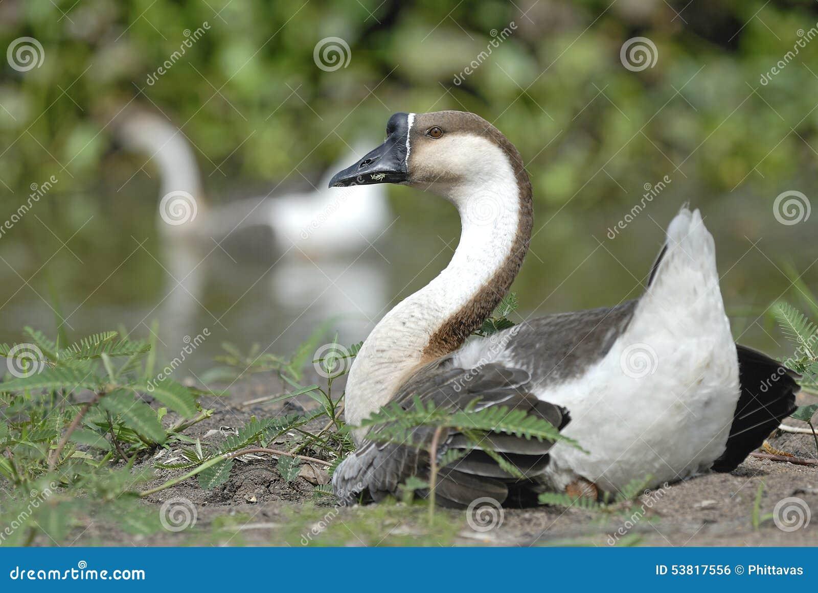 Bird Beautiful Goose Relax Near Pond Stock Photo