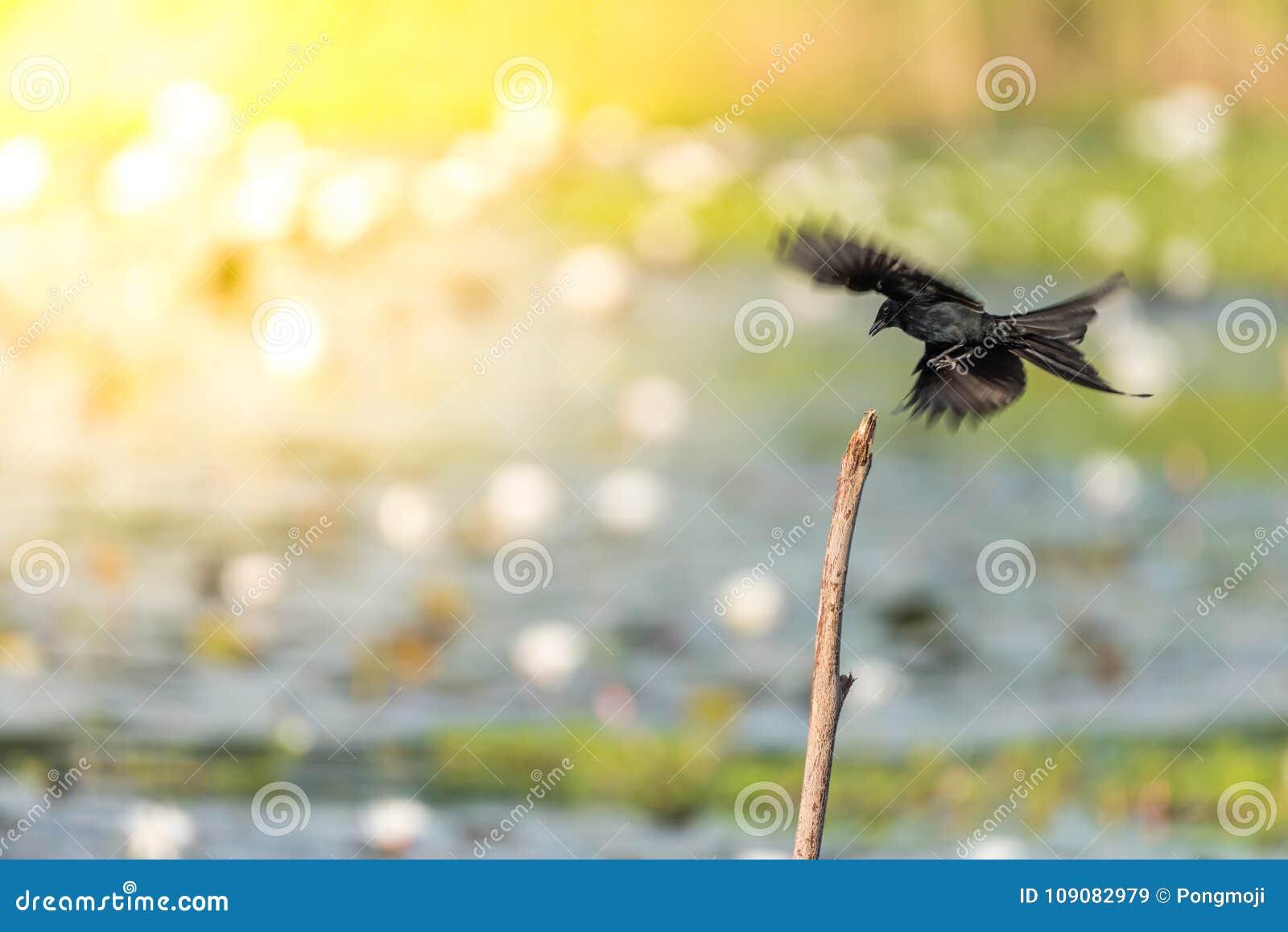 Bird (Black Drongo) On Tree In Nature Wild Stock Image ...