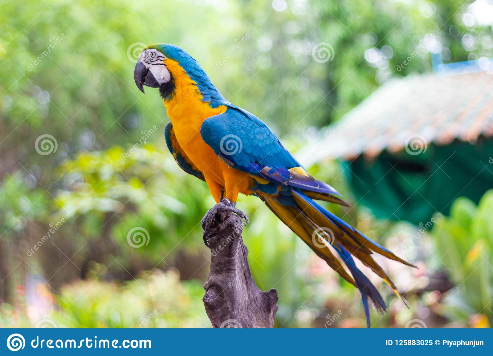 Bird Blue and yellow Macaw on a branch of tree