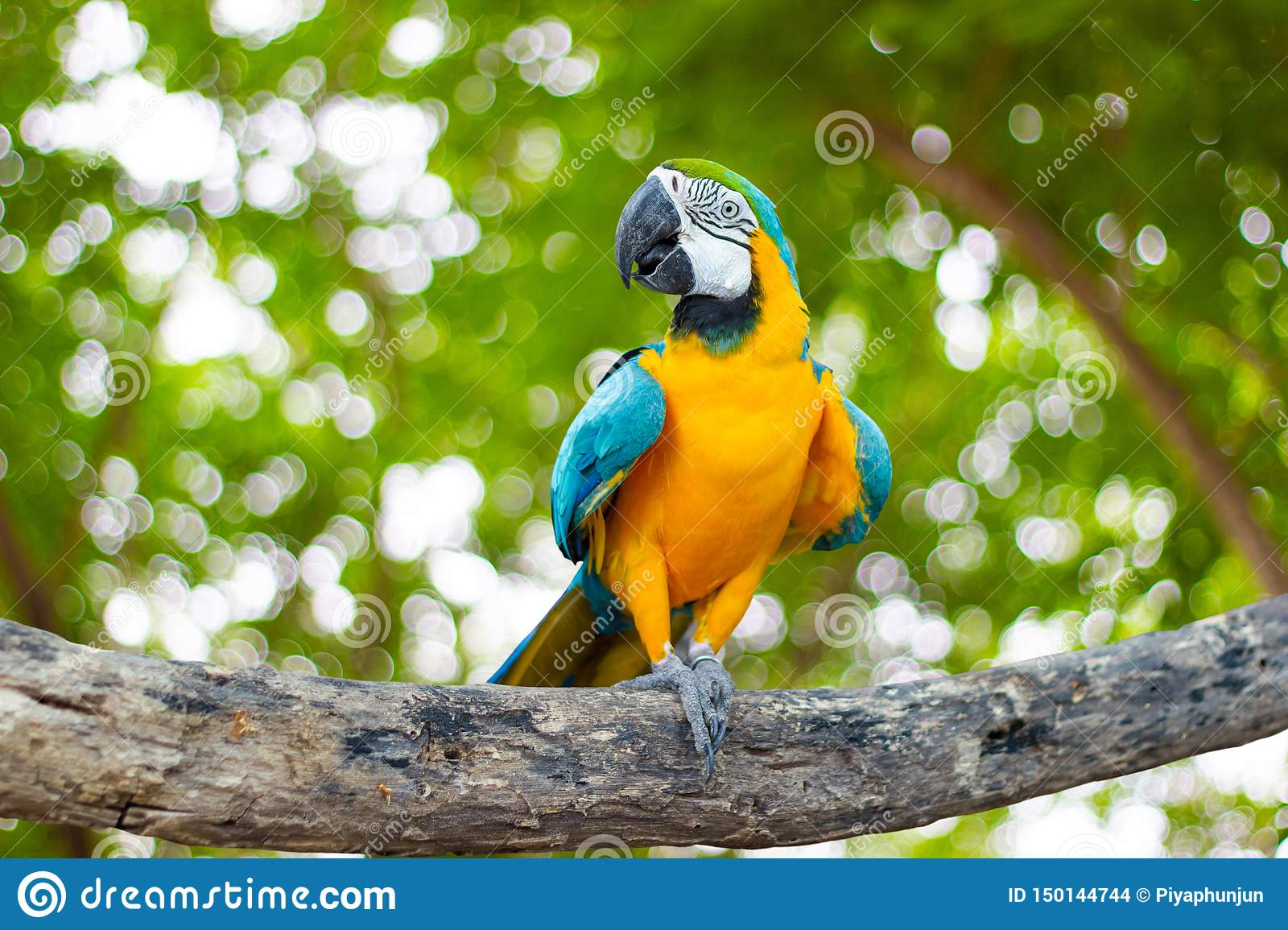 Bird Blue and yellow macaw standing on branches