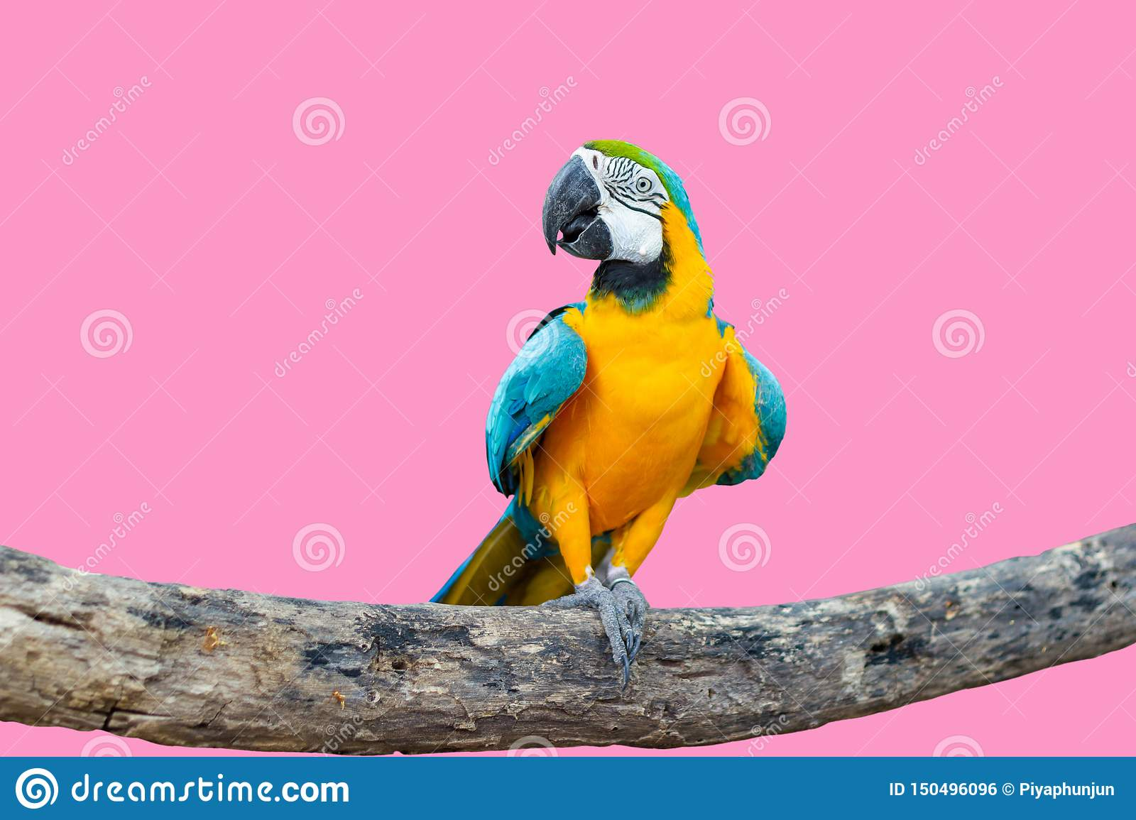 Bird Blue-and-yellow macaw standing on branches