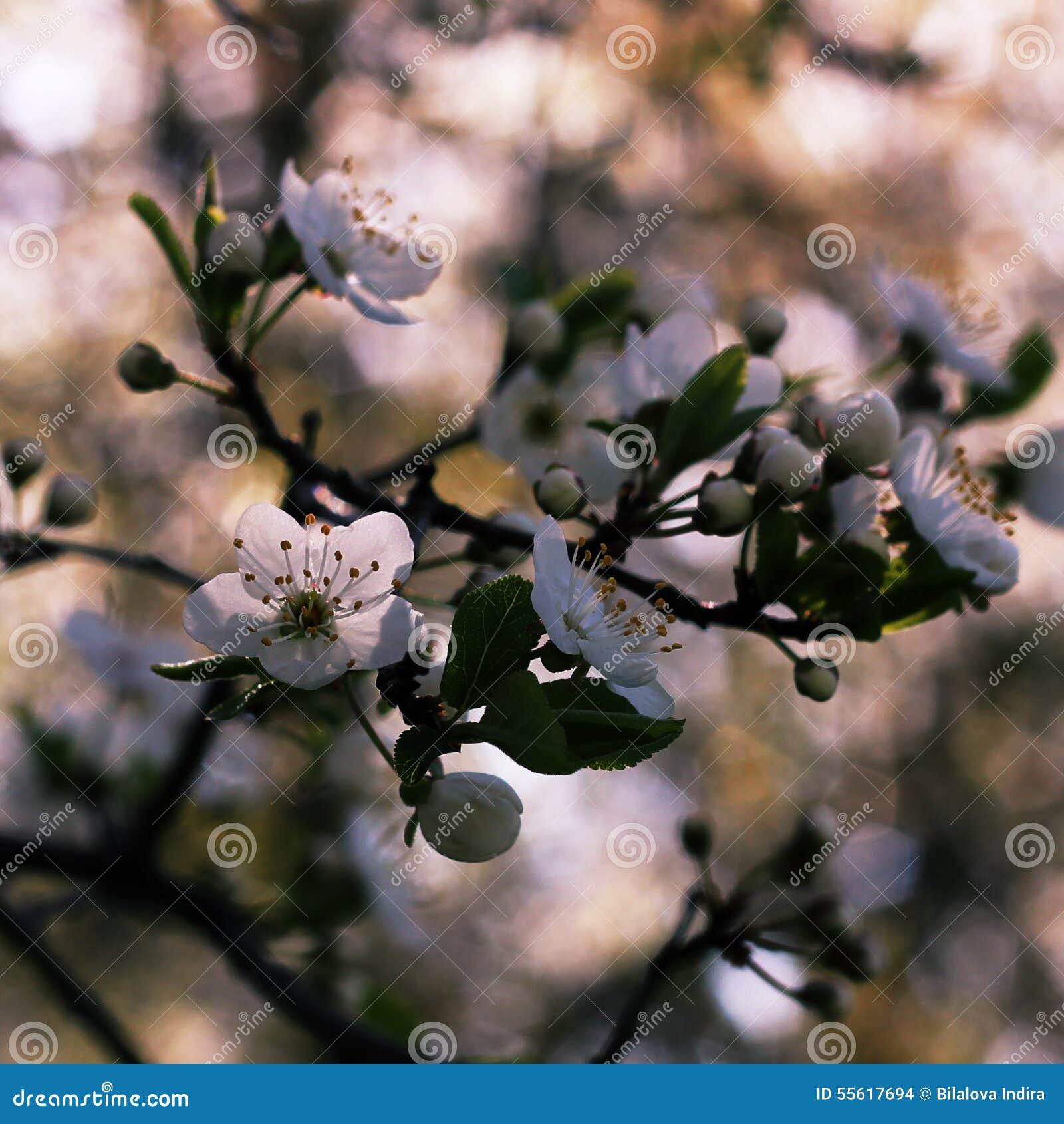 Blossom Cherry Flowers Stock Photo - Billede 55617694-1537