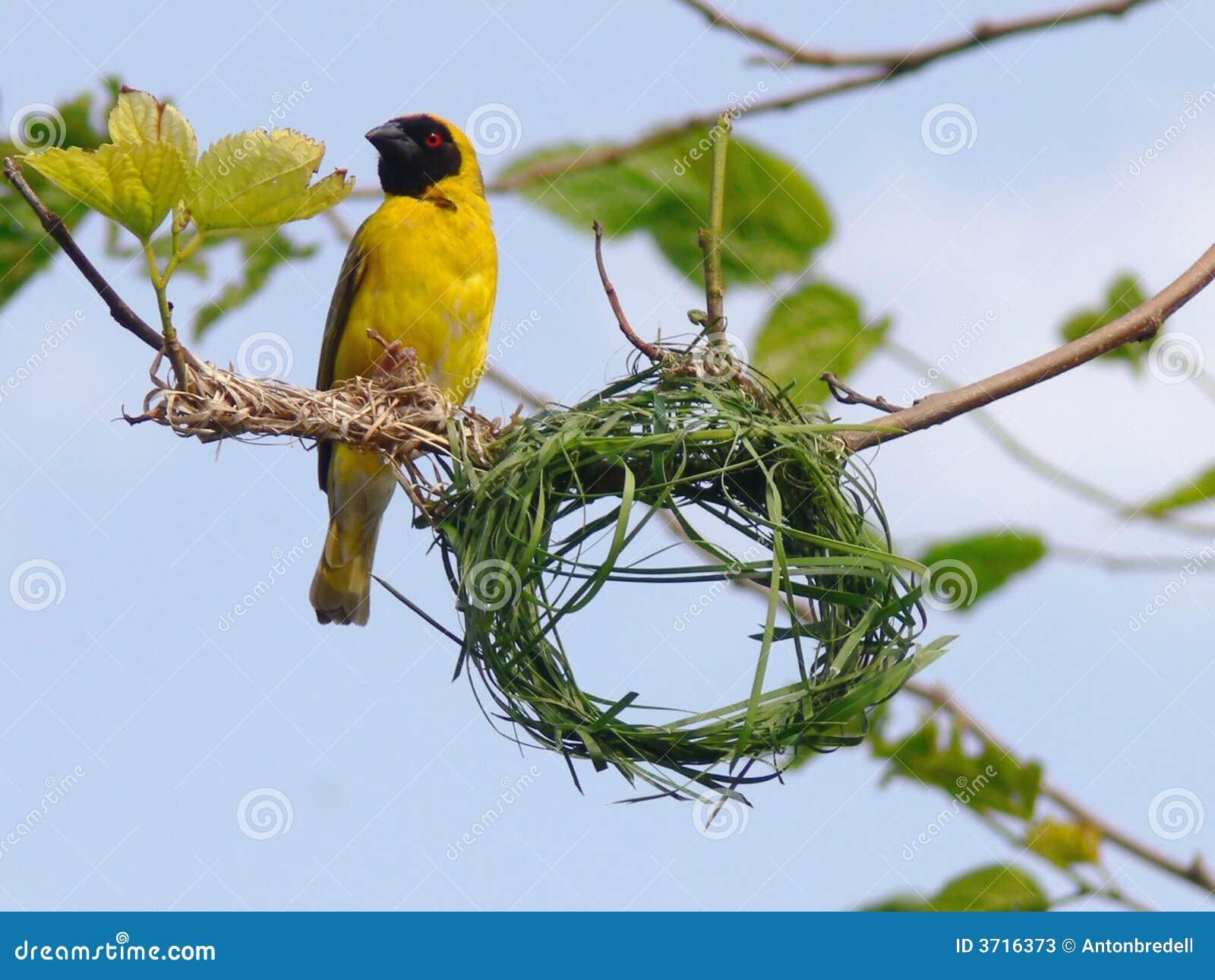 Bird Building Nest Stock Image Image Of South Animal 3716373