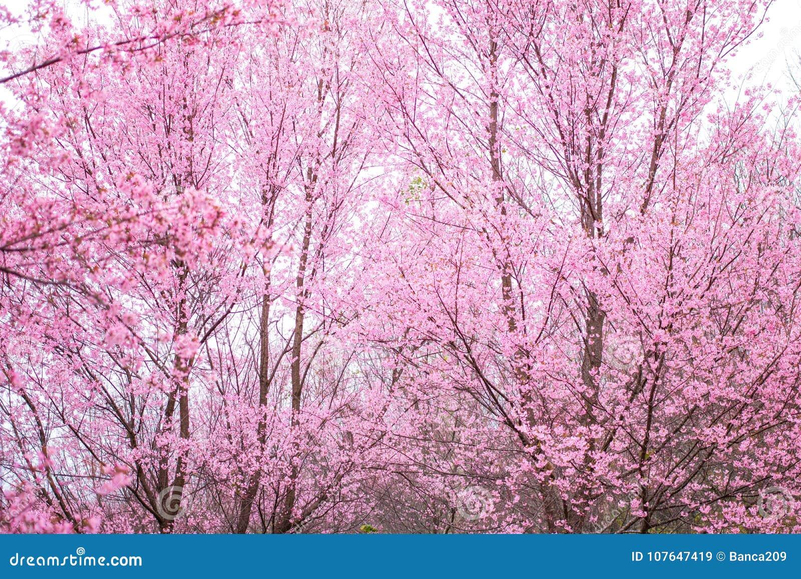 Cherry Blossom Pink Sakura Flower Oriental Phu Lom Lo Loei Thailand