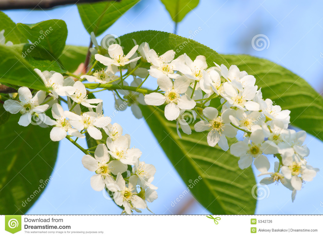 Bird cherry blossoms with leafs on blue sky