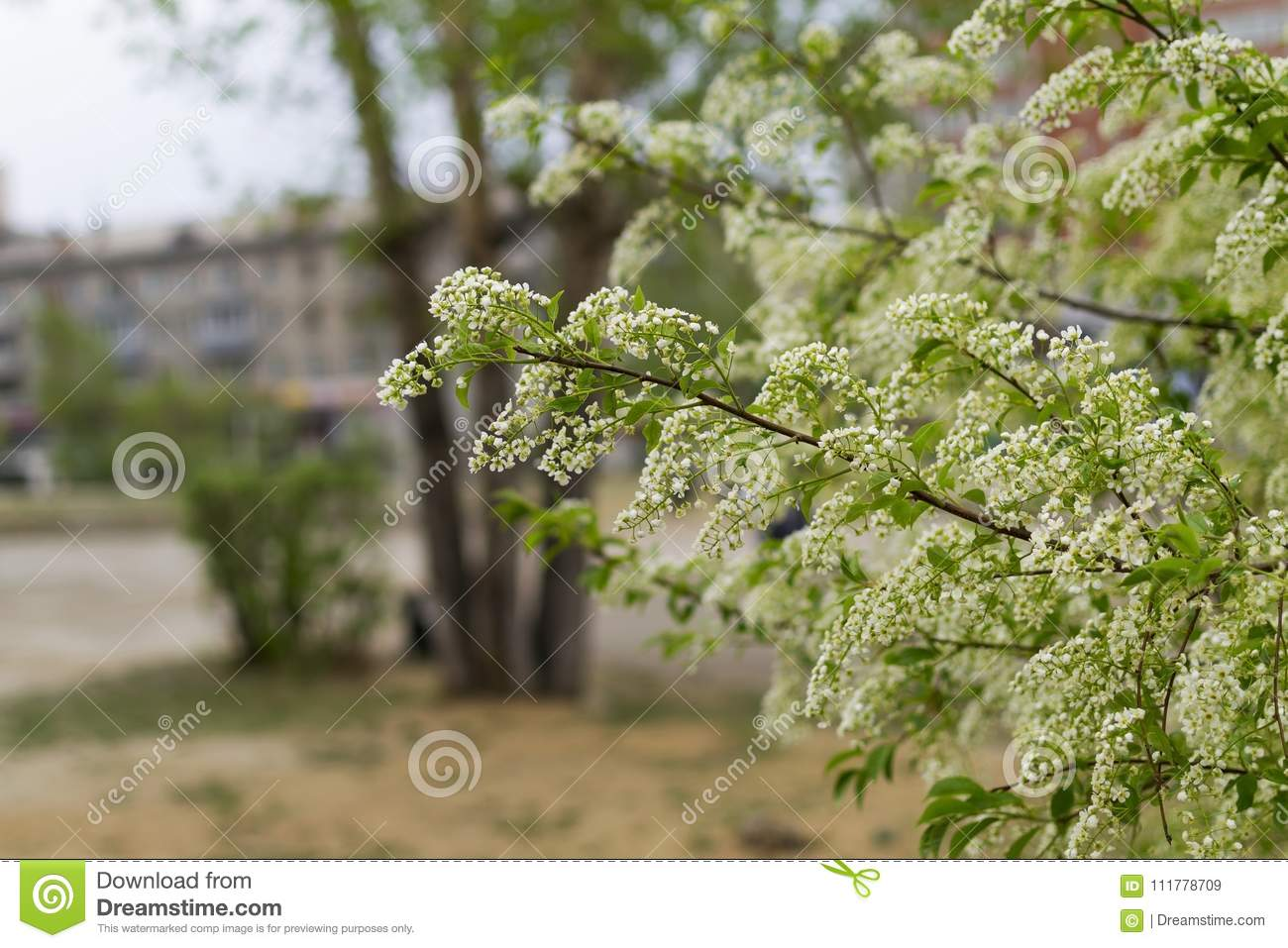 Blossom bird cherry branch, beautiful spring flowers, lovely landscape of nature