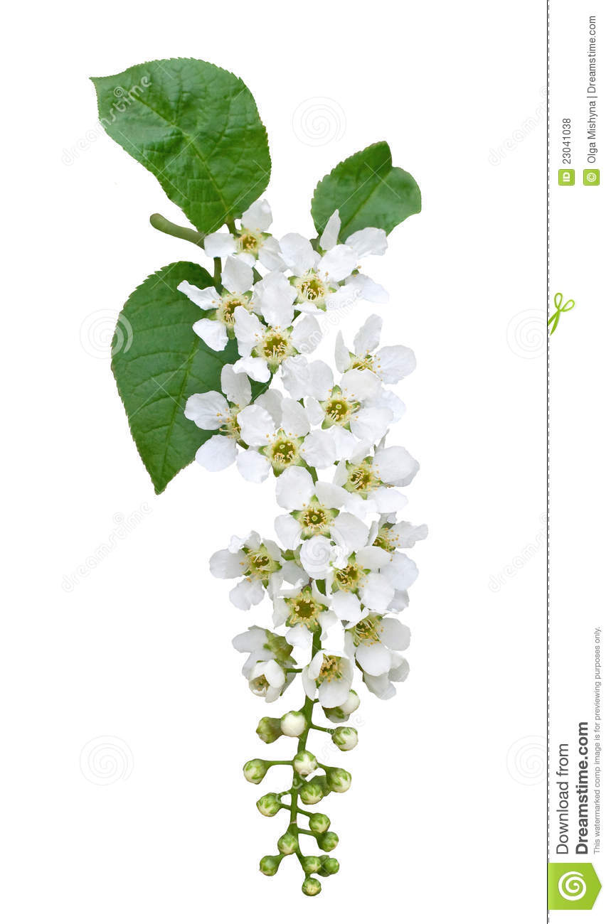 Bird Cherry Tree Blossom Isolated On White Stock Photo