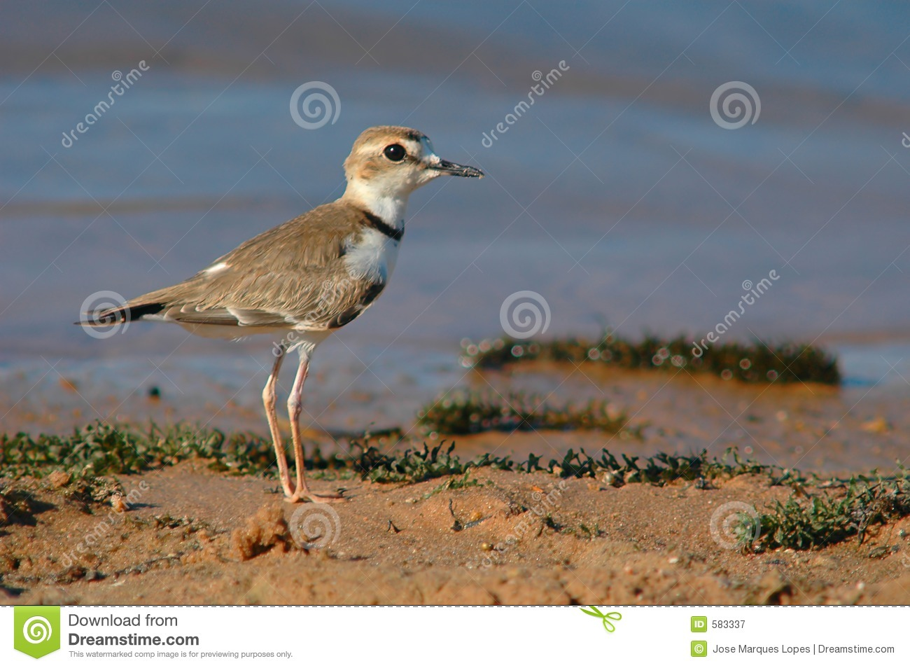 Bird Collared Plover (Charadrius collaris