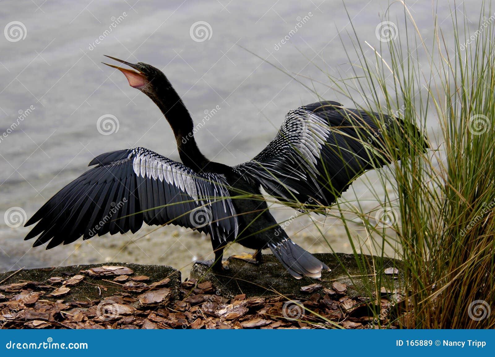 Bird drying wings