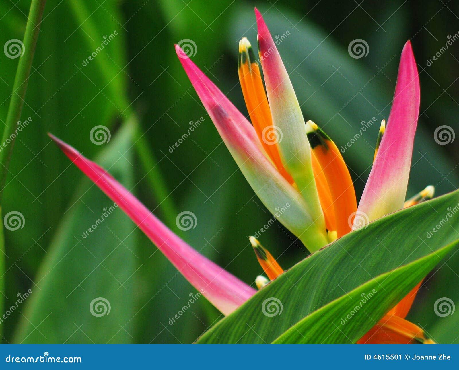 Bird flower heliconia paradise