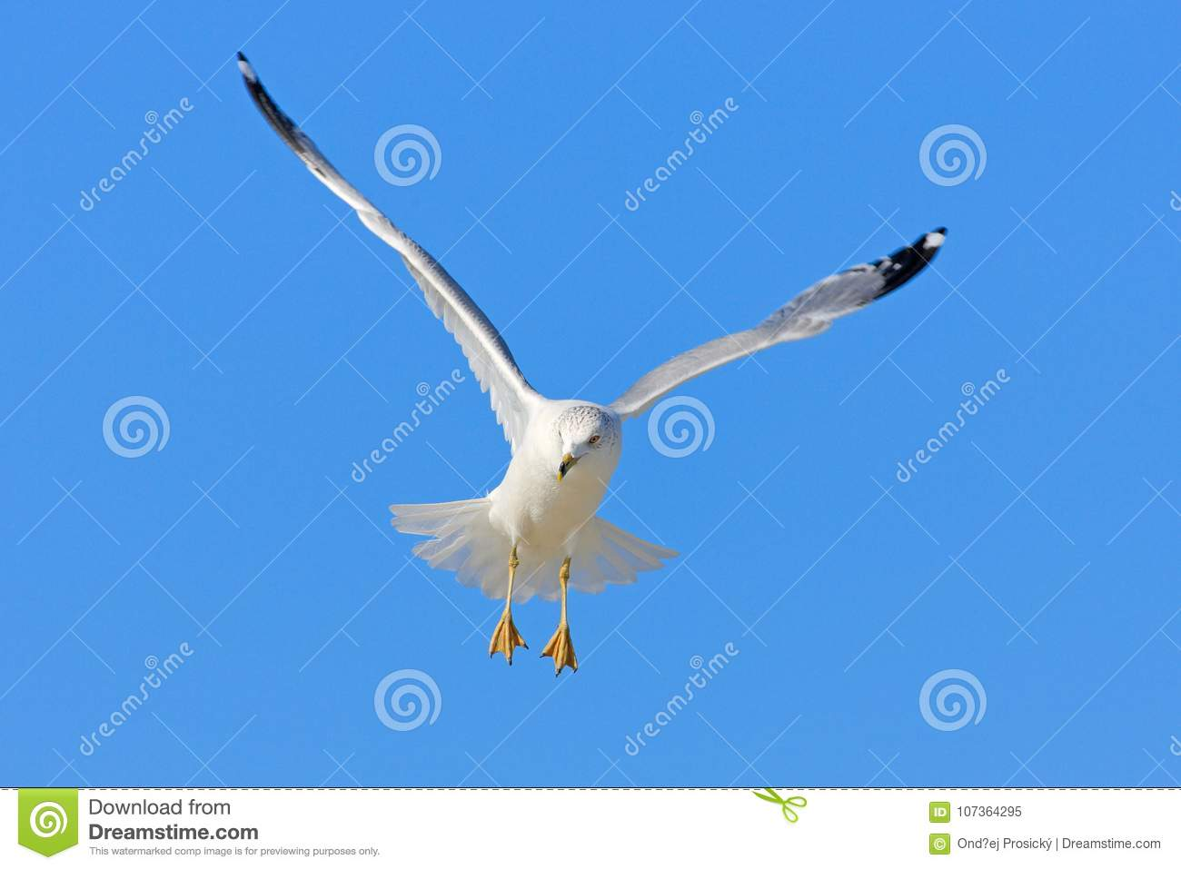 Bird in fly with blue sky. Ring-billed Gull, Larus delawarensis, from Florida, USA. White gull in flight with open wings. Action s