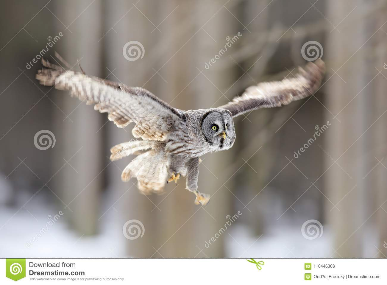 Bird flying. Great Grey Owl, Strix nebulosa, flight in the forest, blurred trees in background. Wildlife animal scene from nature.