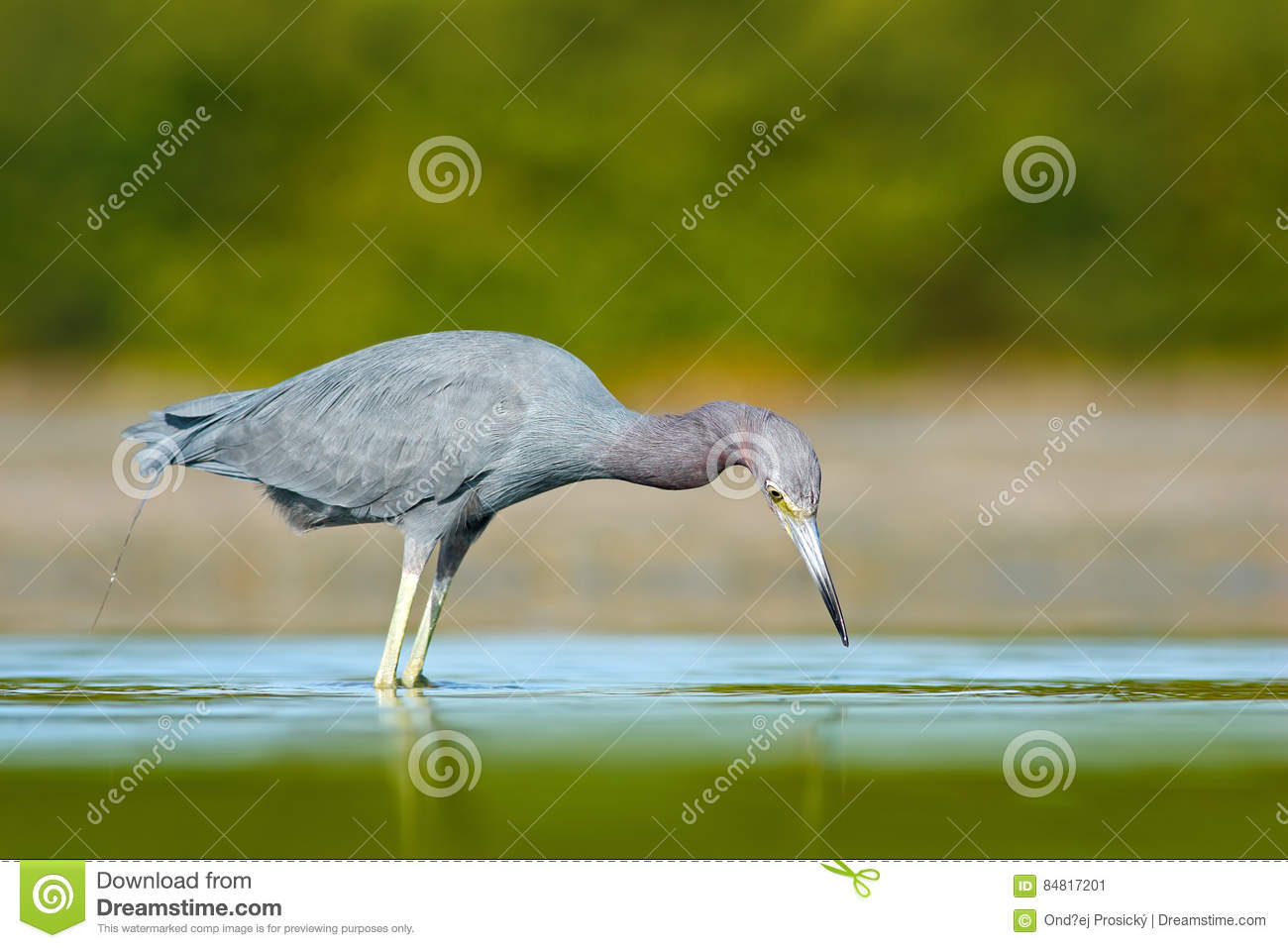 Bird hunting in the water. Little Blue Heron, Egretta caerulea, in the water, Mexico. Bird in the beautiful green river water. Wil