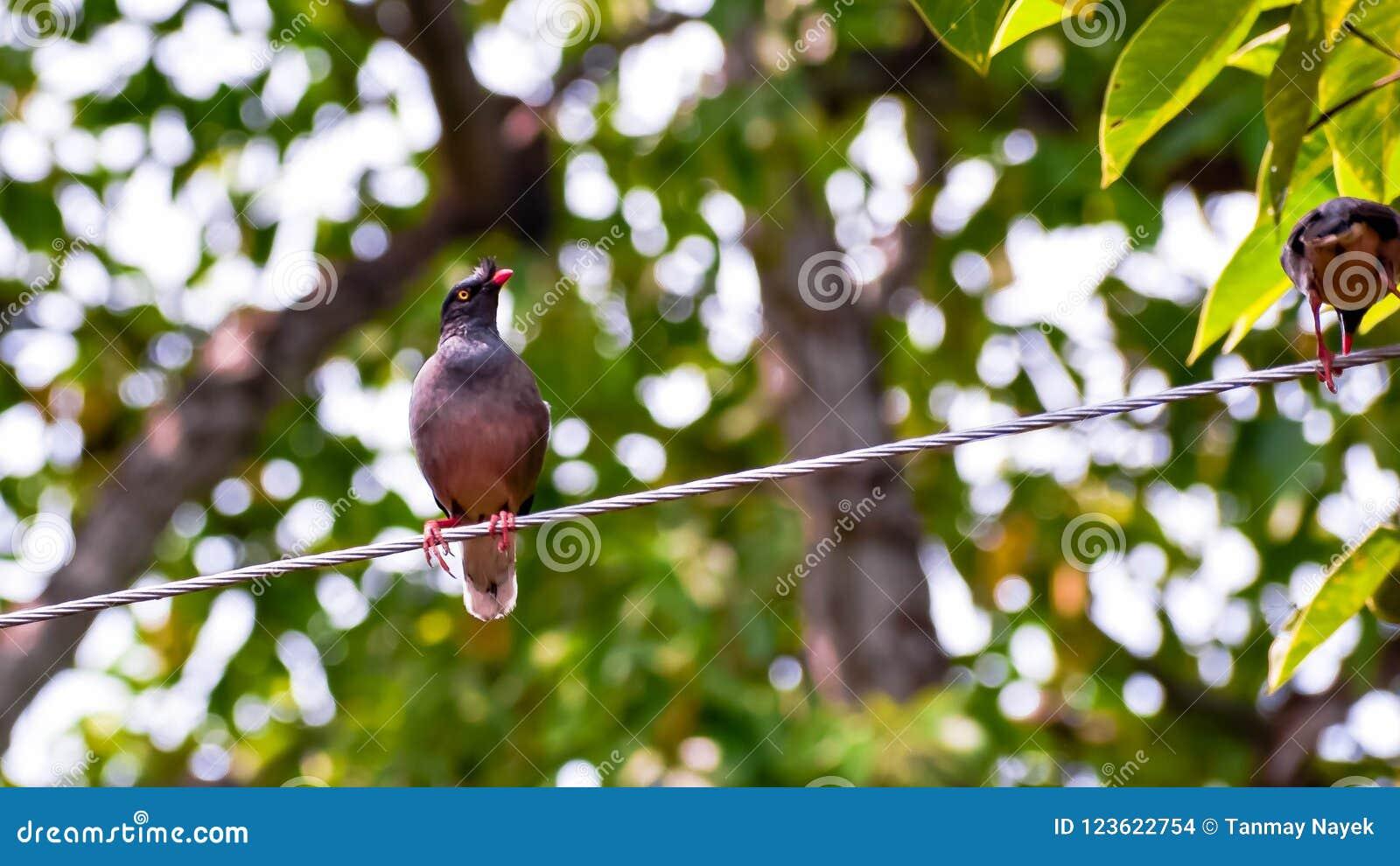 Bird& x28; Indier Mayna& x29;