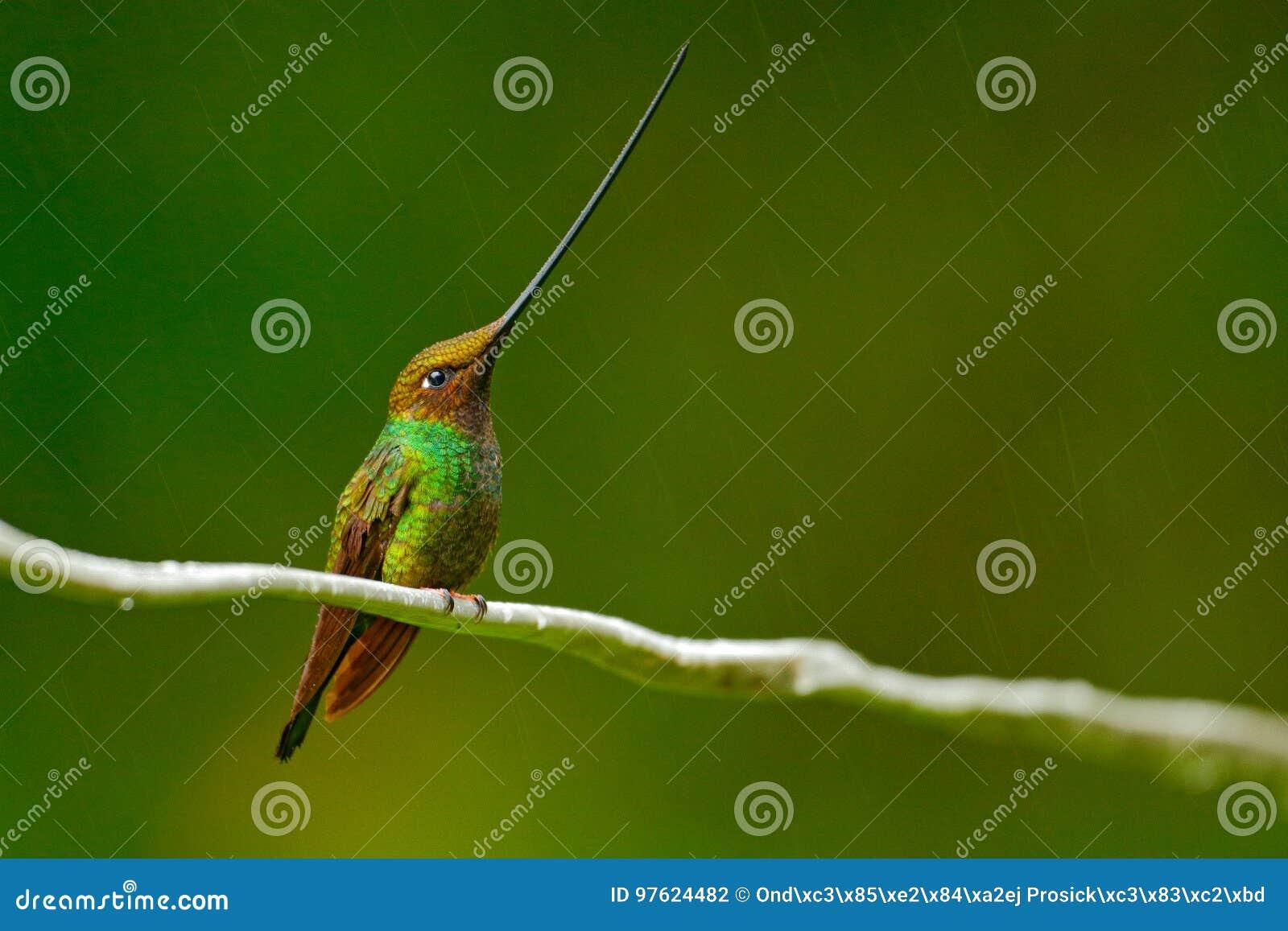 Bird with longest beak. Sword-billed hummingbird, Ensifera ensifera, bird with unbelievable longest bill, nature forest habitat, E
