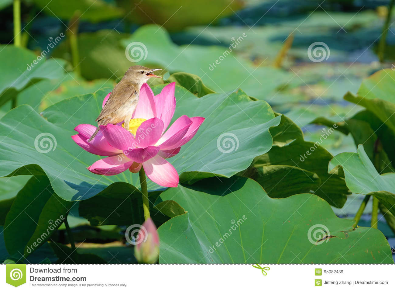 Bird and lotus stock image image of acrocephalus wildlife 95082439 the great reed warbler is eating bee in lotus flower mightylinksfo Choice Image
