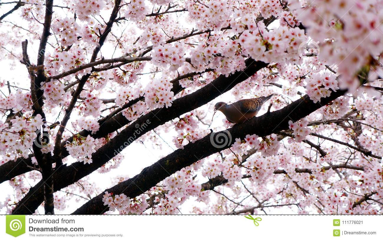 A bird is making a nest surrounding by cherry blossom