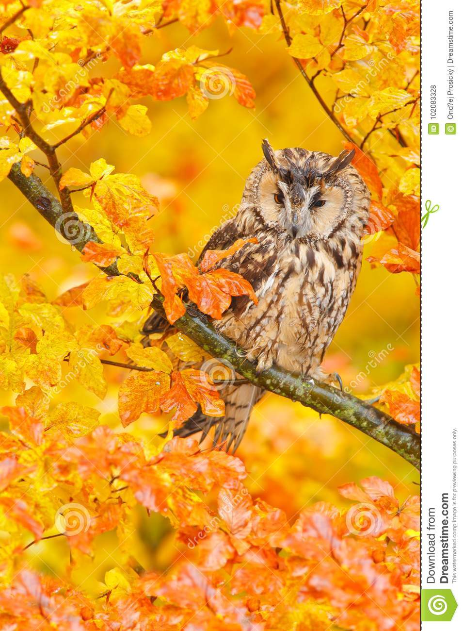 Bird in orange forest, yellow leaves. Long-eared Owl with orange oak leaves during autumn. Wildlife scene fro nature, Sweden.