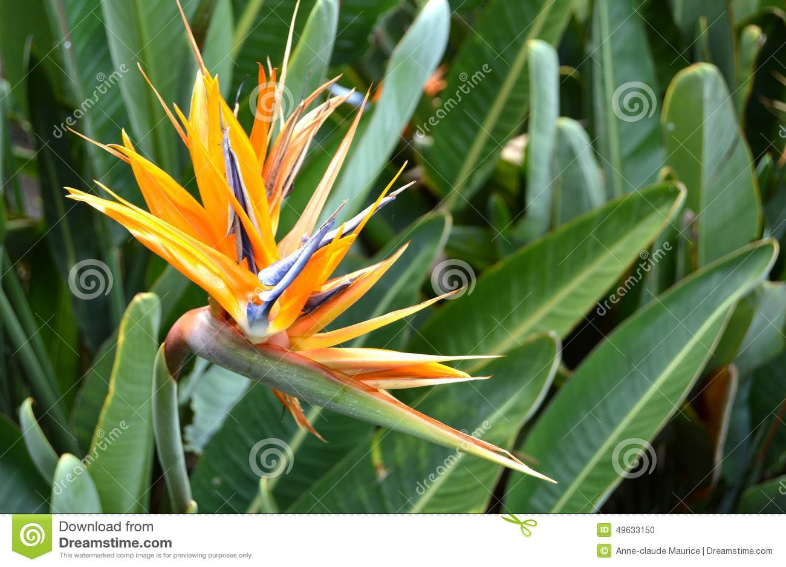 Bird of paradis flower stock photo image of paradis 49633150 bird of paradis flower buycottarizona