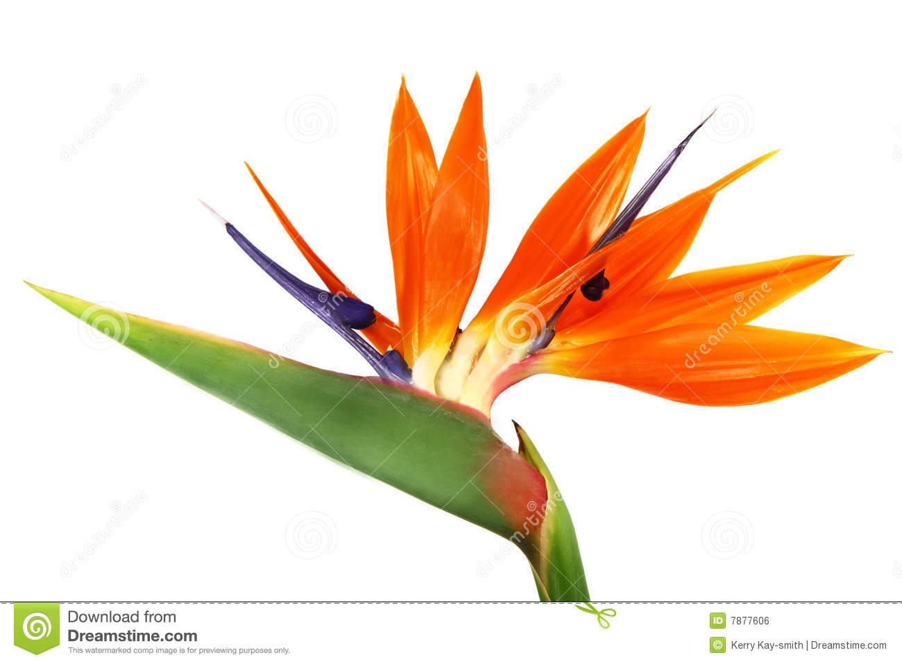 bird of paradise stock photo image of nature over fresh 7877606. Black Bedroom Furniture Sets. Home Design Ideas