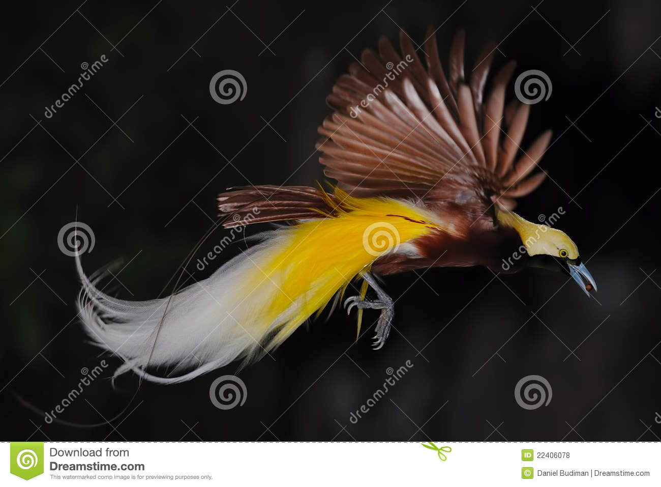 Bird Of Paradise In Flight Royalty Free Stock Photos - Image: 22406078