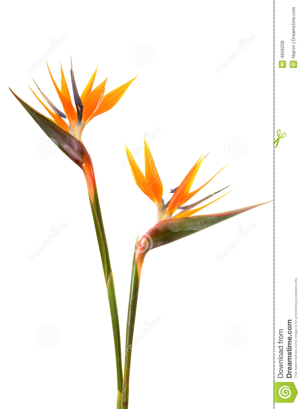 bird of paradise flower stock photo image of bright paradise 4606208. Black Bedroom Furniture Sets. Home Design Ideas