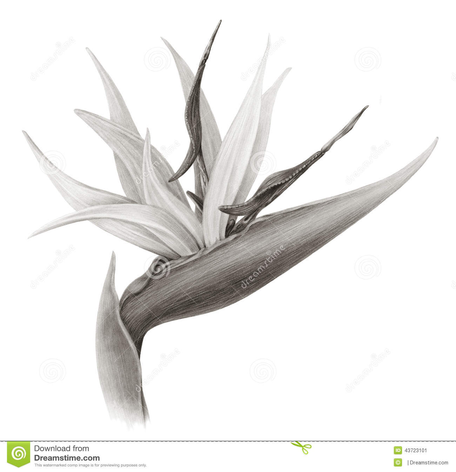 bird of paradise flower sepia stock illustration image
