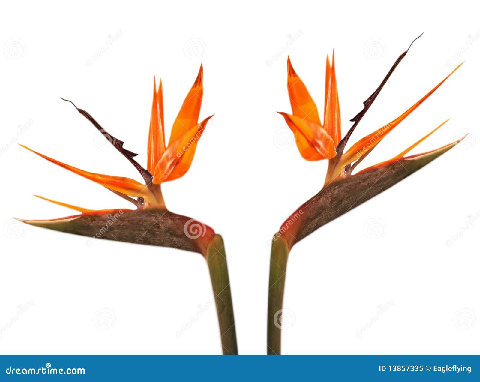 Bird of paradise flower strelitzia stock image image of bird of paradise flower strelitzia over white background mightylinksfo