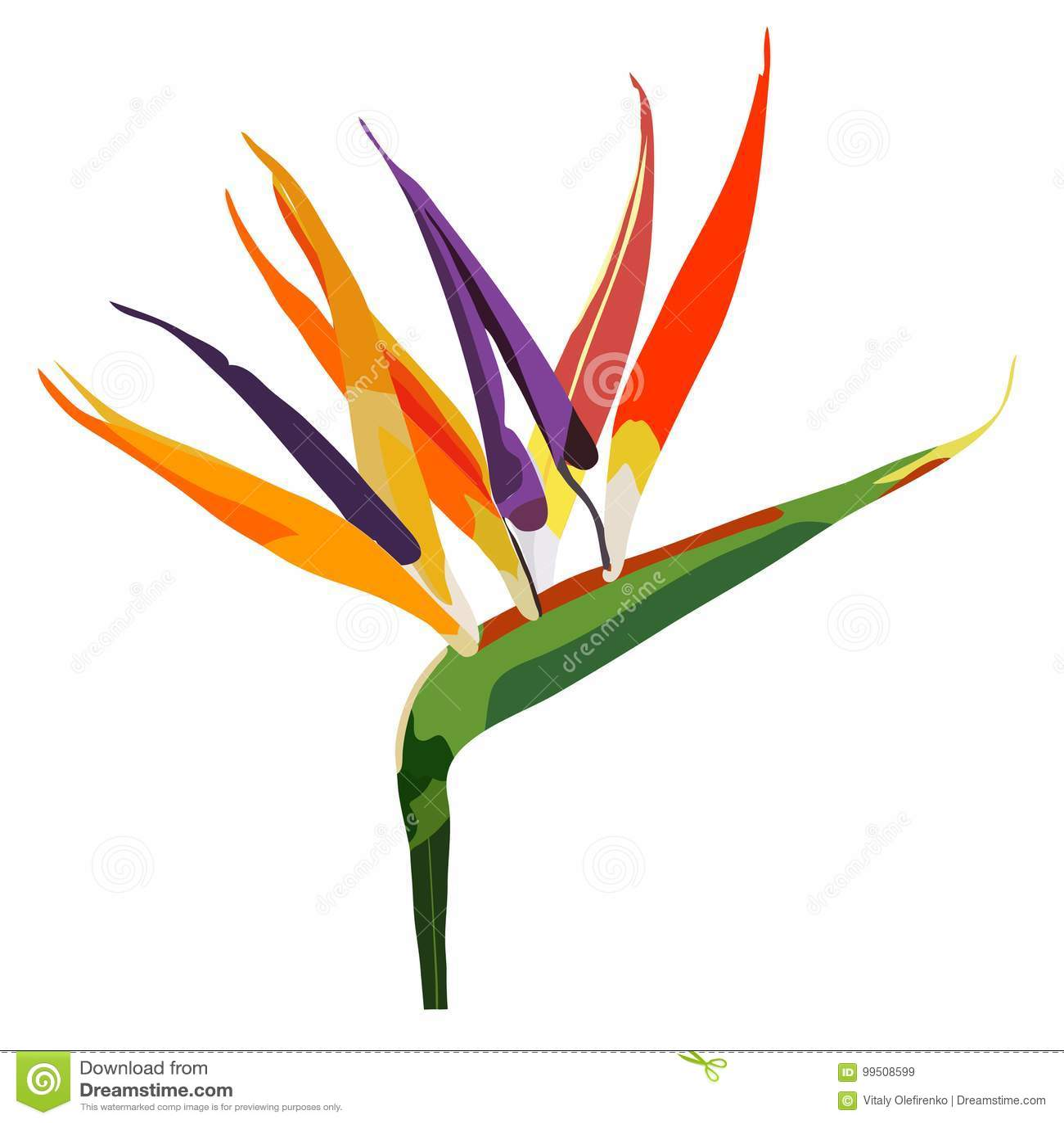 Bird Of Paradise Flower Strelitzia On White Stock Vector