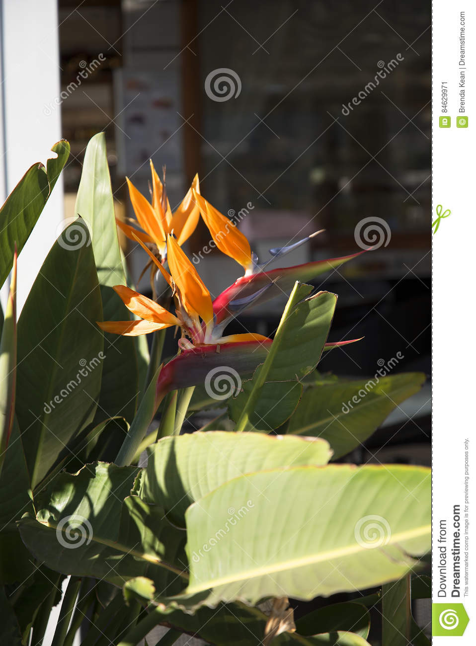 Bird of paradise flowers in nerja a sleepy spanish holiday resort download bird of paradise flowers in nerja a sleepy spanish holiday resort on the costa izmirmasajfo