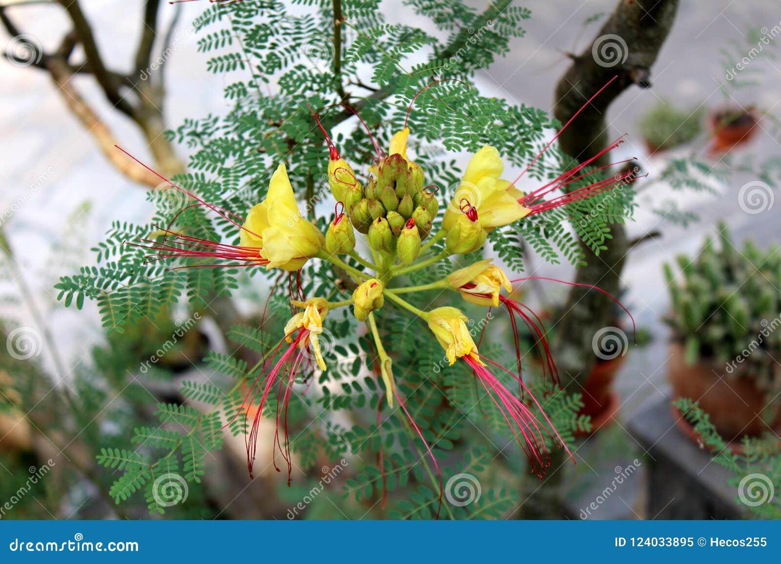 Bird Of Paradise Shrub Or Erythrostemon Gilliesii Flowering Plant