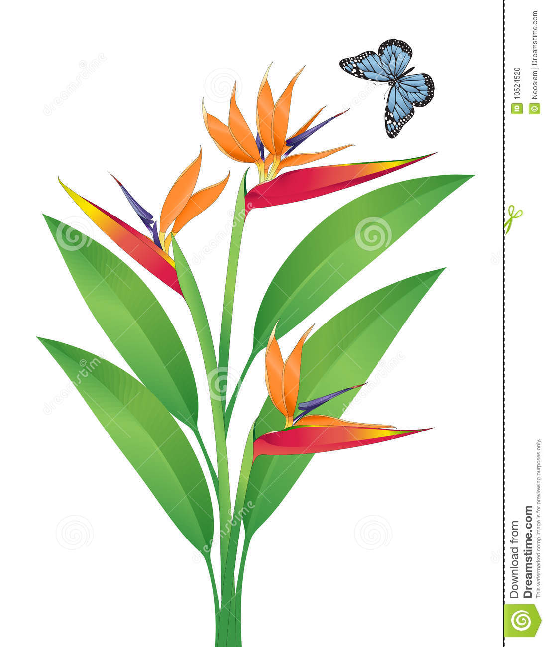 Bird Of Paradise Vector Art Stock Photo - Image: 10524520