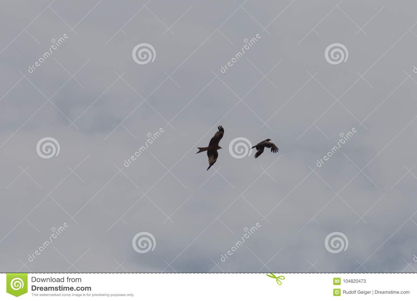 bird of prey as couple in summer blue sky
