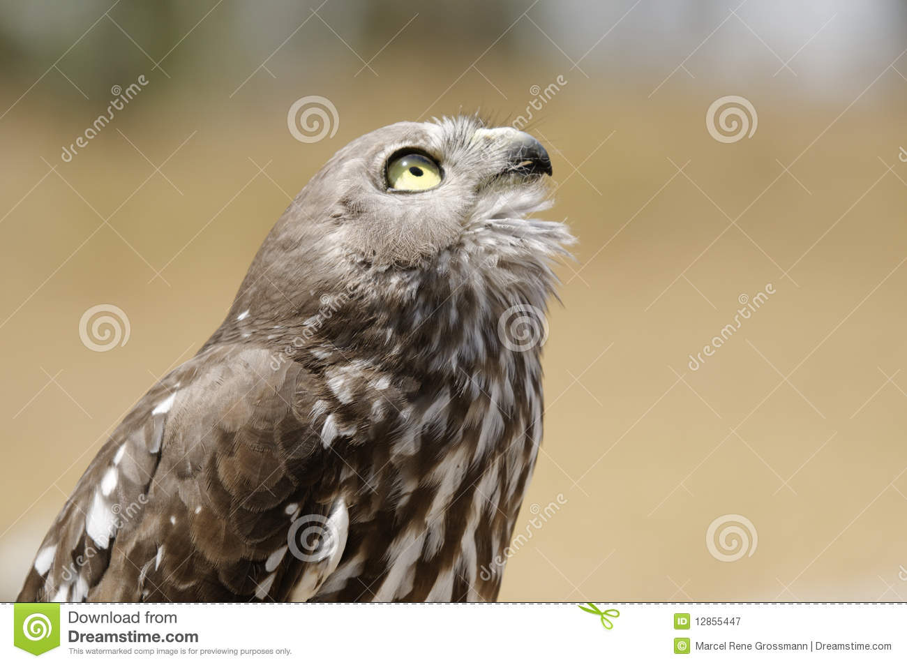 Bird Of Prey From Australia Stock Image Image Of Wilderness Insecurity 12855447