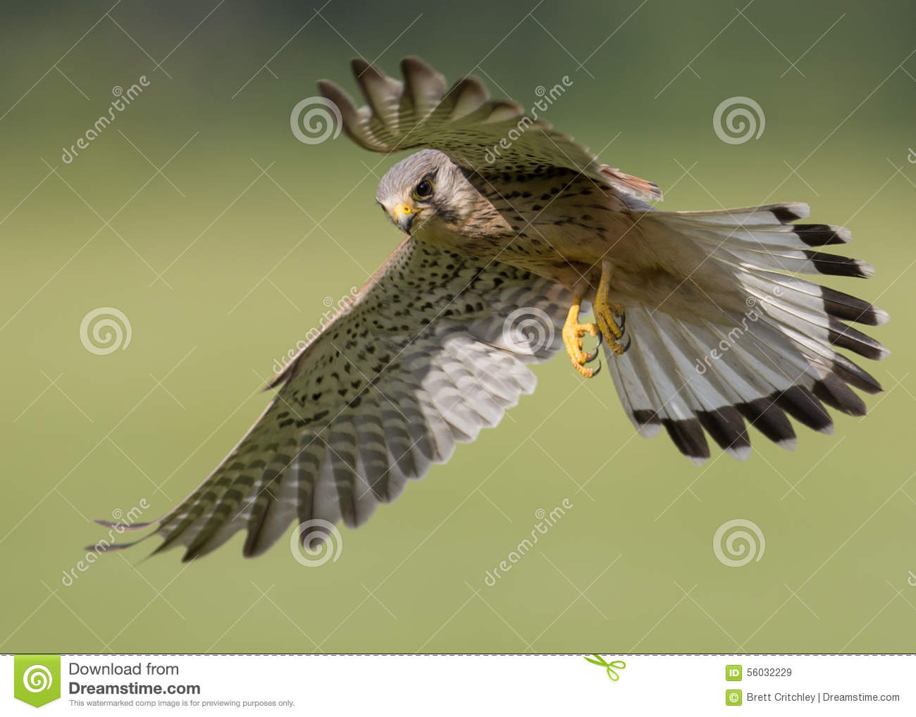 Bird of prey in flight