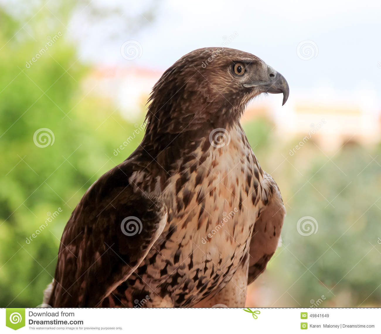 stare map with Stock Photo Bird Prey Large Brown Hawk Light Under Belly Image49841649 on Stock Photo Tabby Cat Head Profile Close Up Copy Space Portrait Against Green Brown Background Image53898937 furthermore Royalty Free Stock Images Walrus Cartoon Image25901119 also 18 Foot Python Captured Florida Everglades further Stock Image Old Farmers Threshing Wheat Animals Vintage Country House Two Girls Looking Work Image35693491 in addition Royalty Free Stock Image Usa National Flag Image5169146.