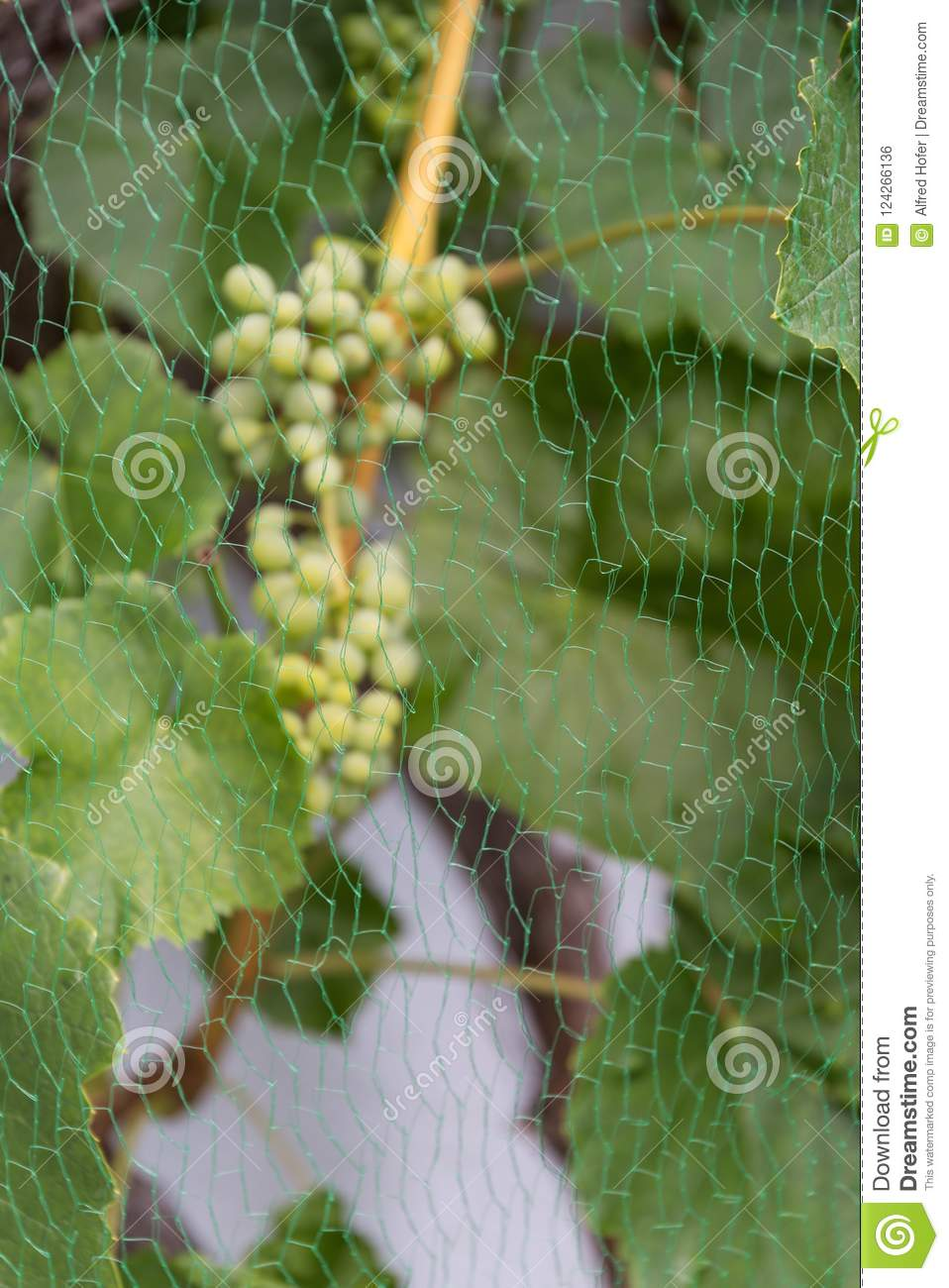 Bird Protection Net In Front Of Grapes - Close-up Stock
